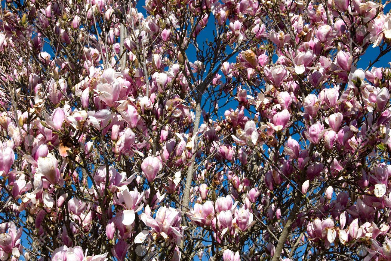 A Magnolia Bush In Full Spring Flower Stock Photo Picture And