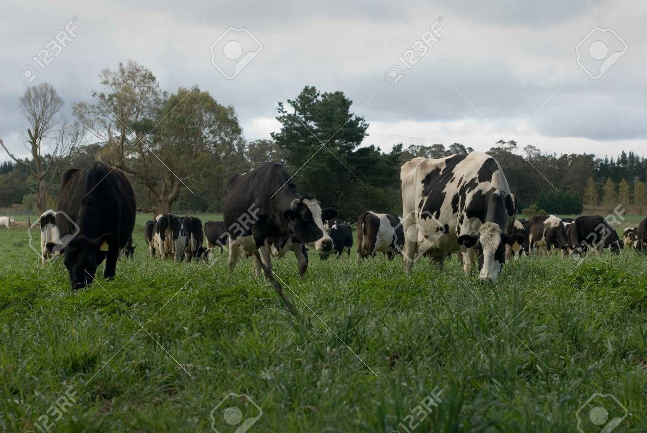 Friesian cows grazing in a lush green field, near Moss Vale, New South Wales, Australia Stock Photo - 5684820