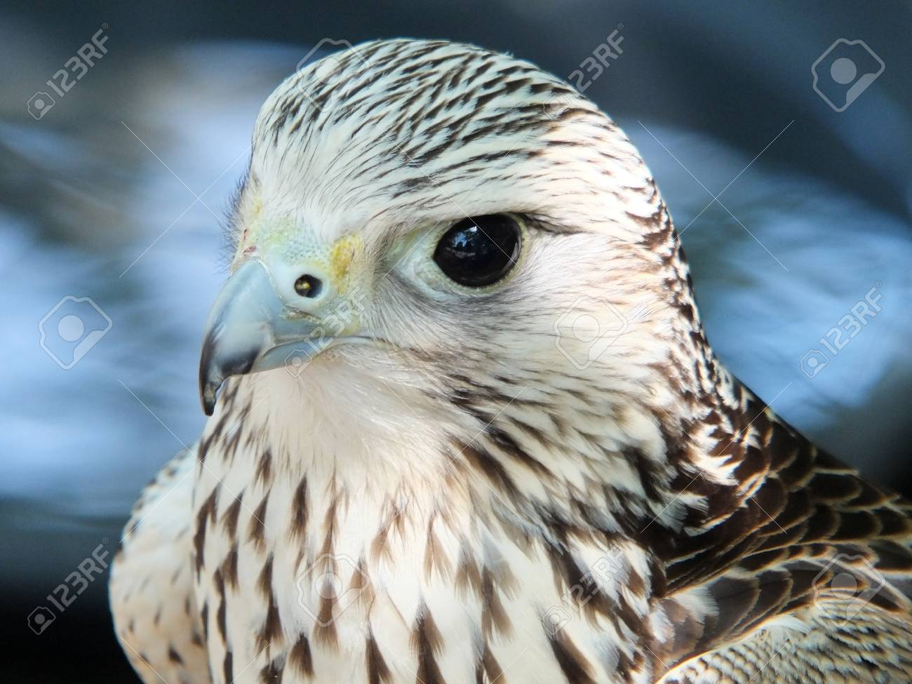 Close Up Of A Kestrel Looking Stock Photo