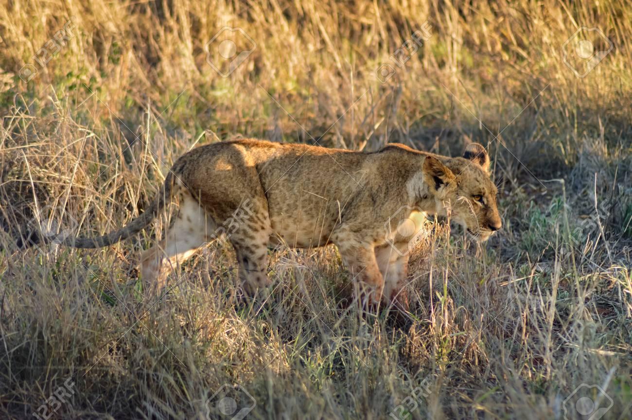 Lion cub walking in West Tsavo Park in Kenya - 89583259