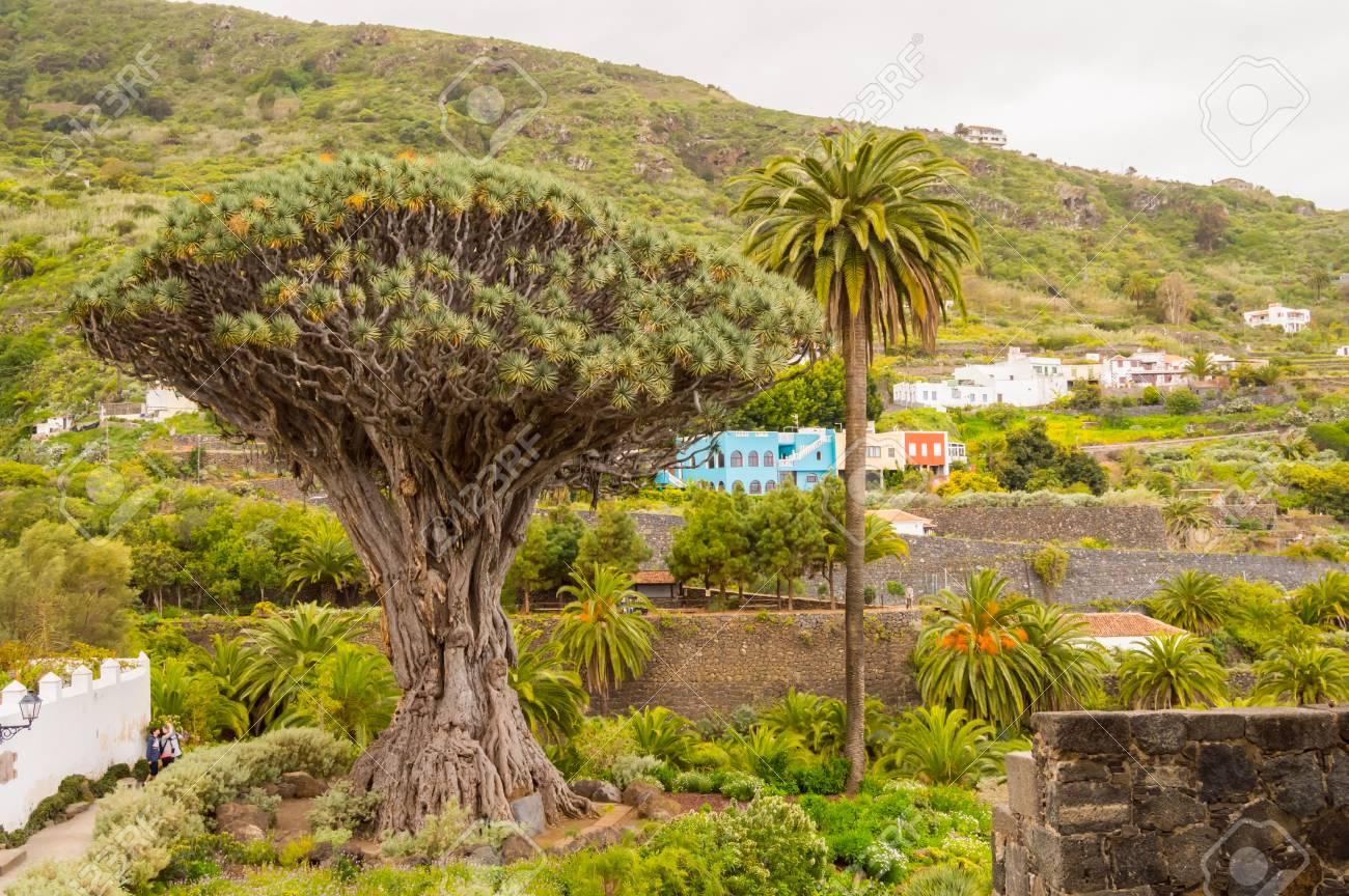 The Millennial Dragon Tree In The City Of Icod De Los Vinos On ...