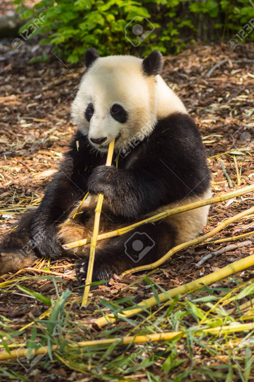 Giant panda sitting on the meadow busy eating bamboo chunks in