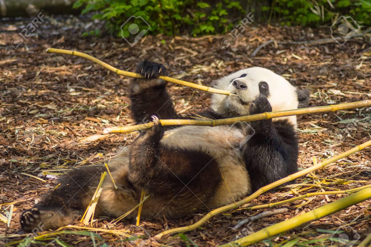 Giant Panda sleeping on the meadow busy eating bamboo chunks