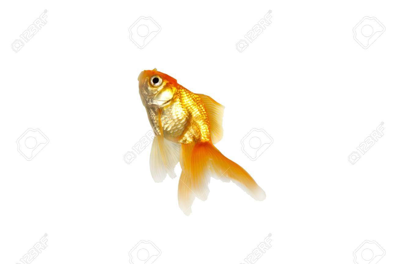 Gold fish Stock Photo - 8433801