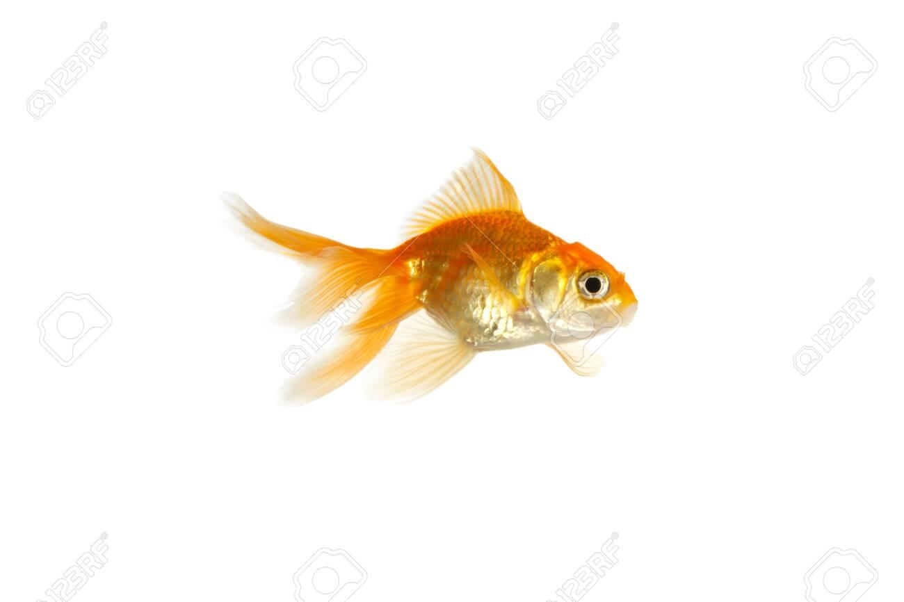 Gold fish Stock Photo - 8433804