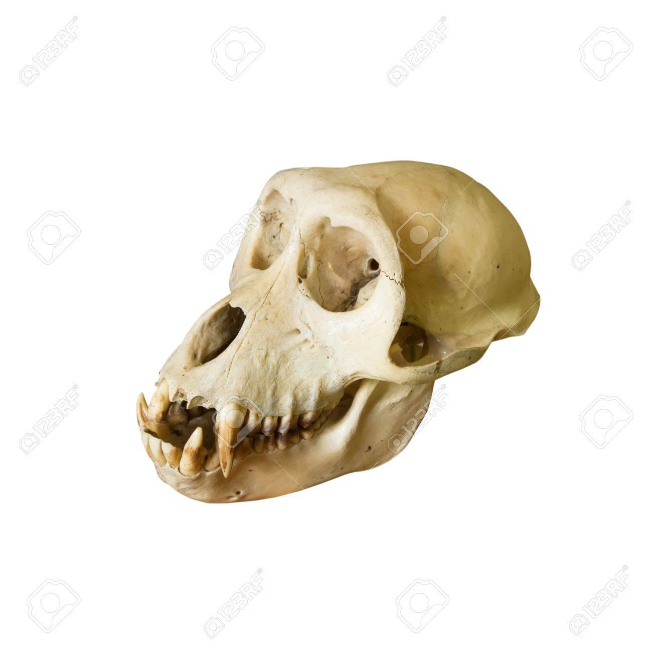 Monkey skulls Stock Photo - 16995465