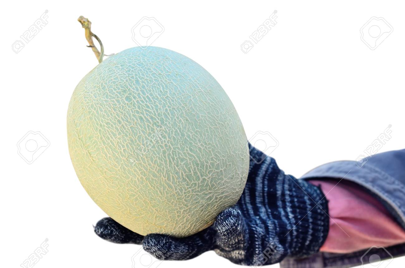 Cantaloupe In Hand Isolate On White Background Stock Photo Picture And Royalty Free Image Image 34349888 Cantaloupes belong to the same vining family as watermelon cantaloupe, like many other members of the cucurbitaceae family, produce both male and female. 123rf com