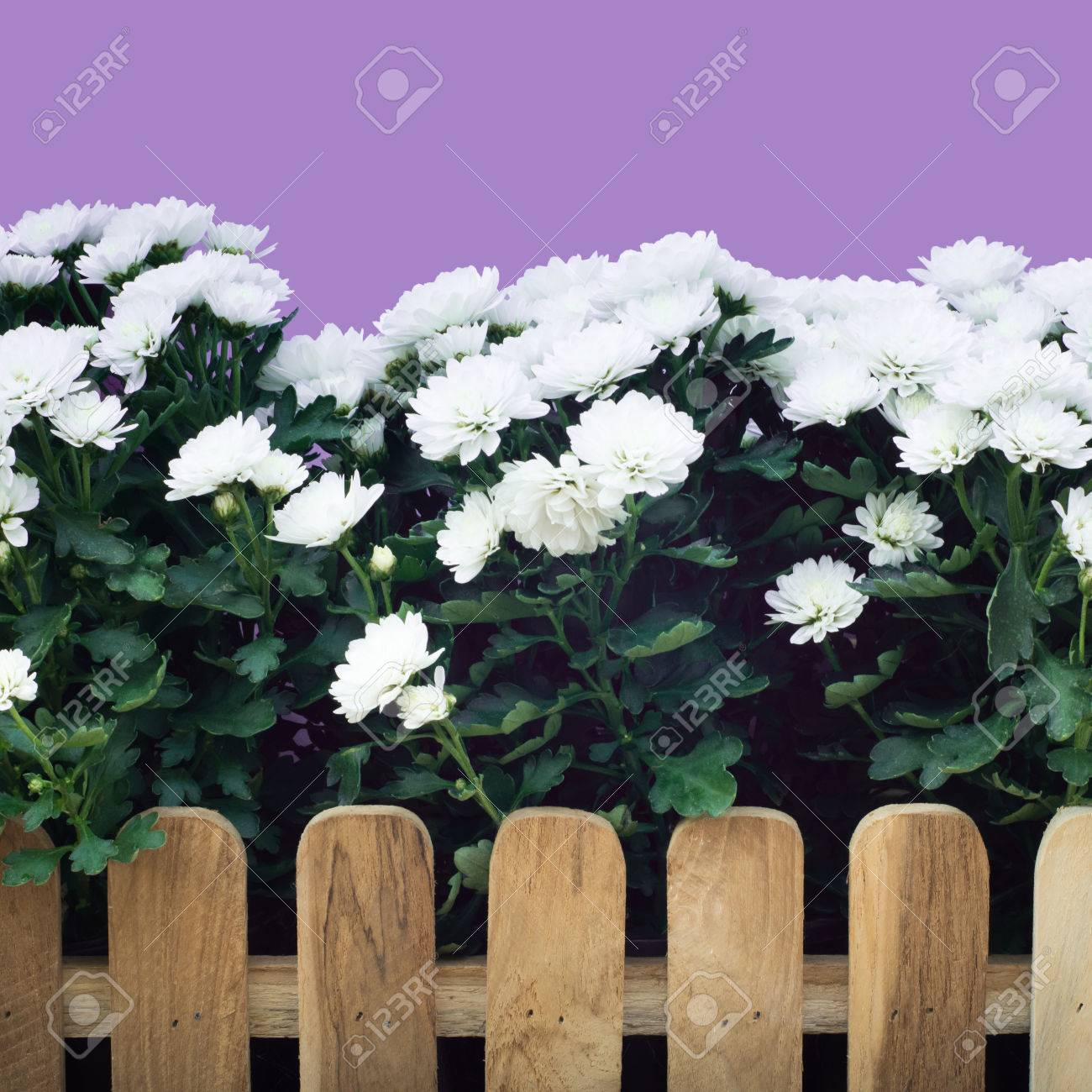Beautiful White Flower Farm Background And Fench Stock Photo