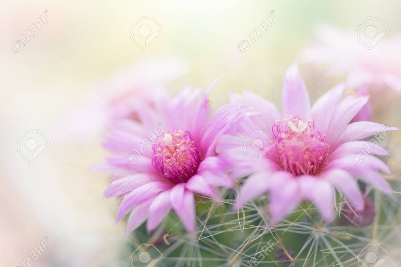 Beautiful Pink Cactus Flower Blooming In Garden Stock Photo Picture