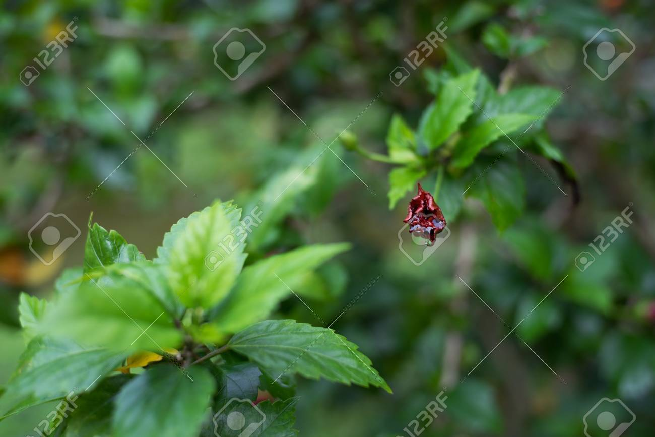 Flower Bud Of Hibiscus Rosa Sinensis With Droplets Stock Photo