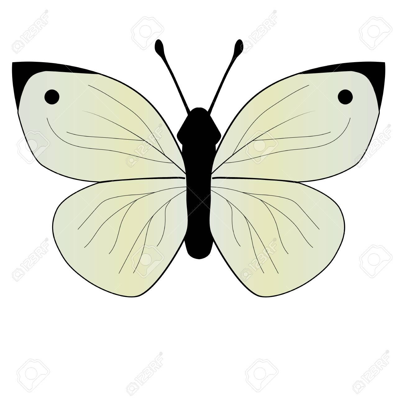 ベクトル図モンシロチョウのイラスト素材ベクタ Image 62009818