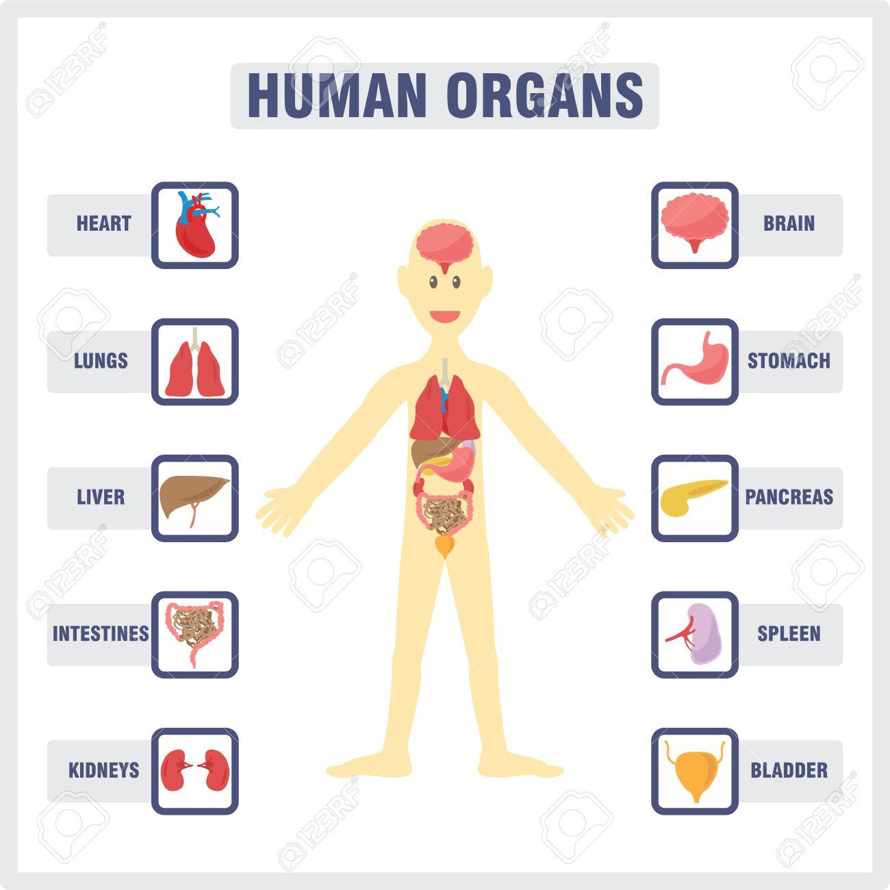Del Cuerpo Humano Y Los órganos Internos Ilustraciones Vectoriales ...