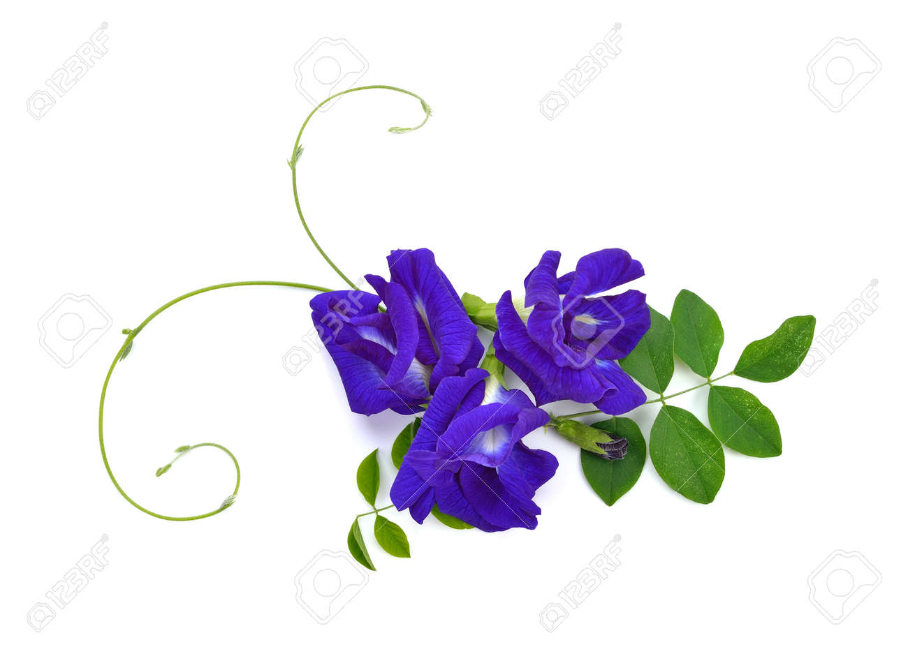 Butterfly Pea isolated on white background - 169847563