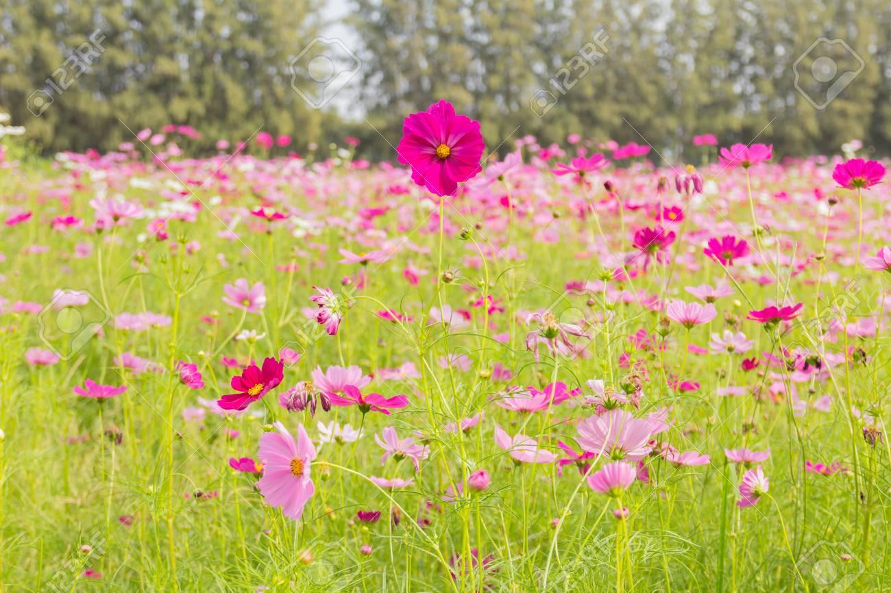 Rosa cosmo bianchi e rossi fiori da giardino blurry di soft focus e