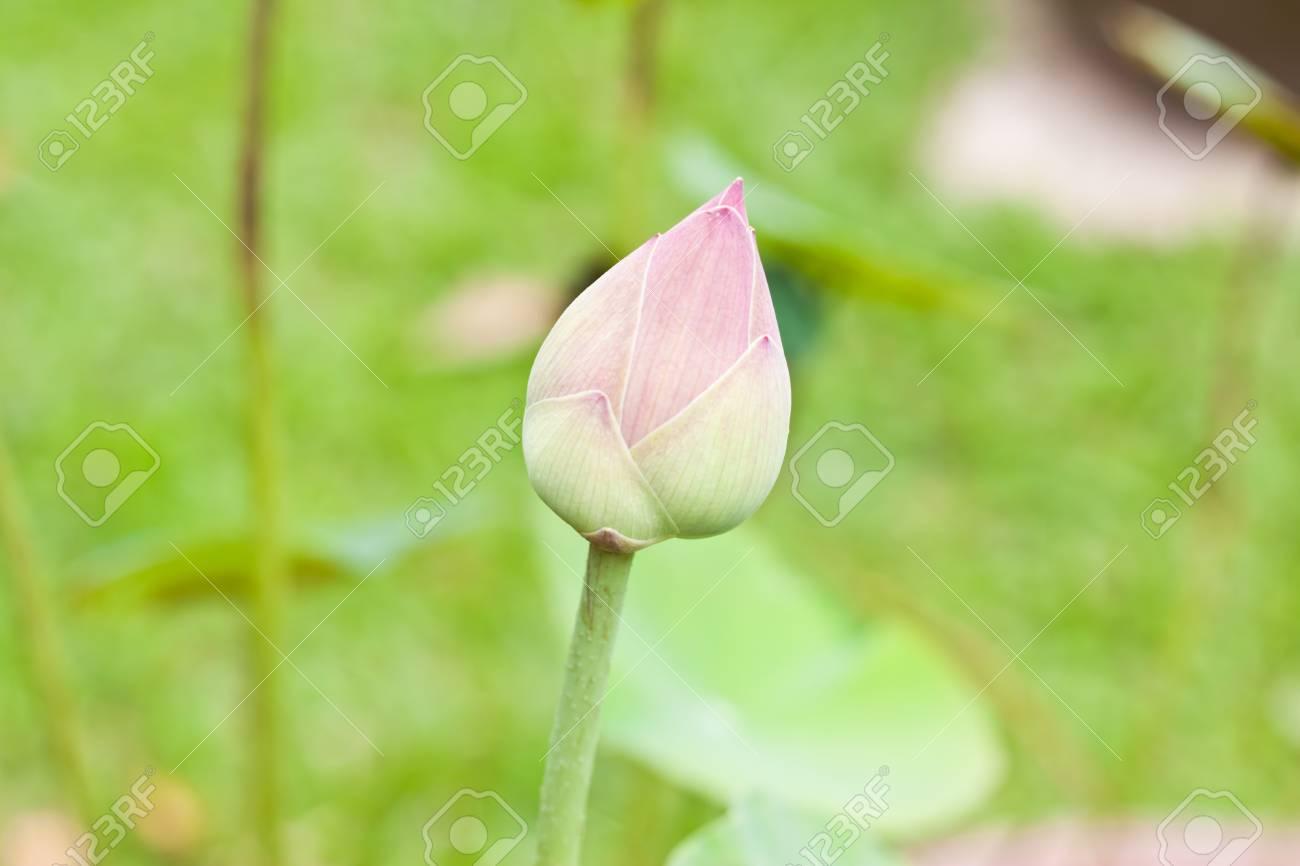 Pink lotus Stock Photo - 15087803