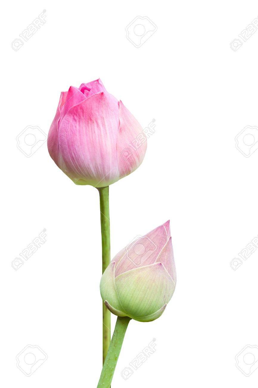 Pink lotus - 15087809