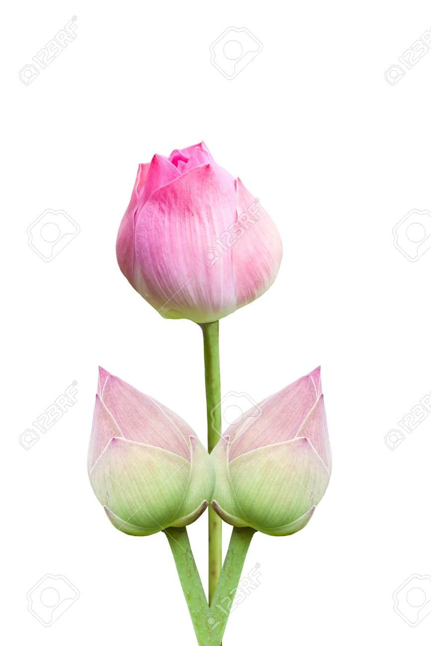 Pink lotus Stock Photo - 15087794