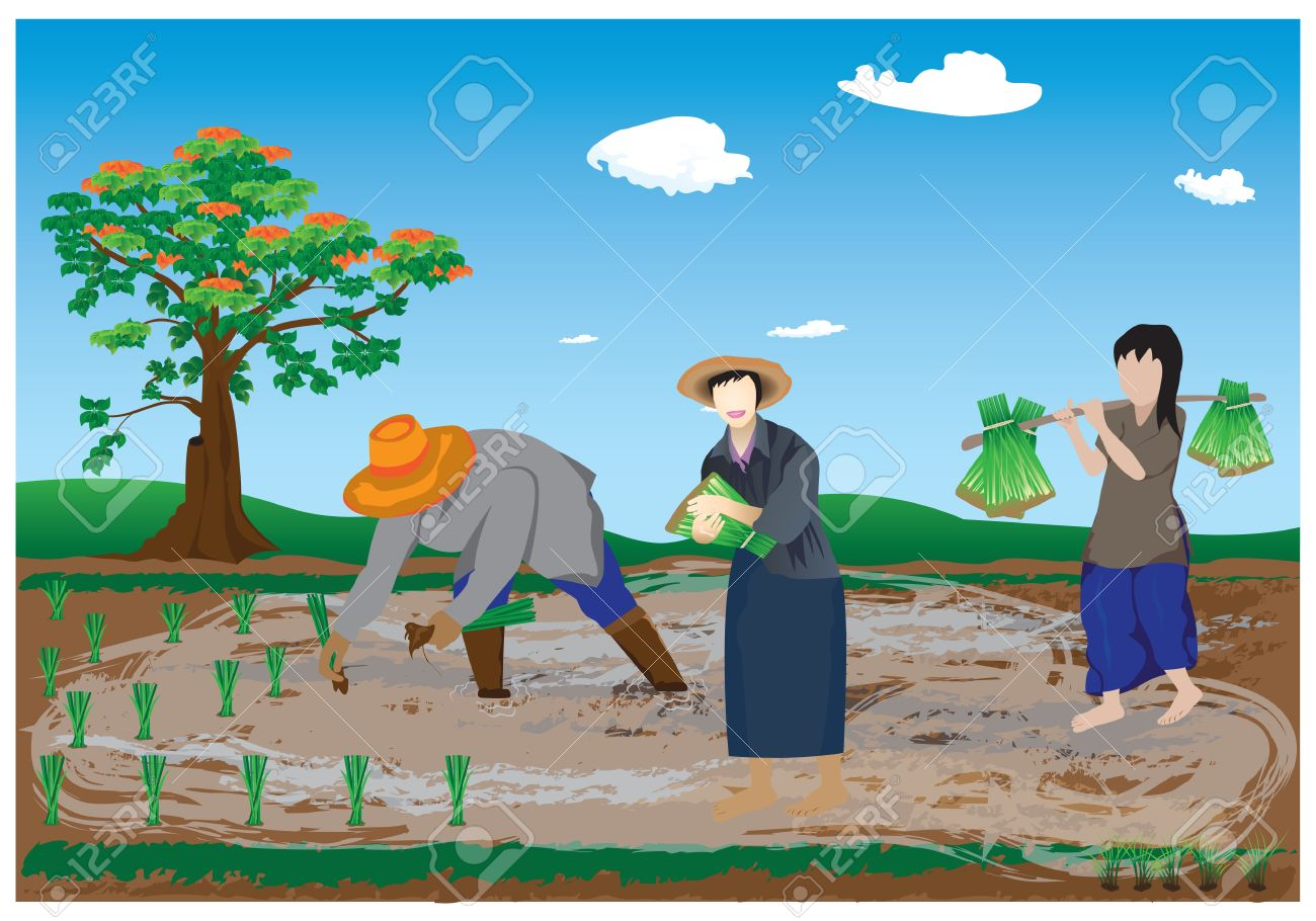 agriculturist transplant rice seedlings - 41194256