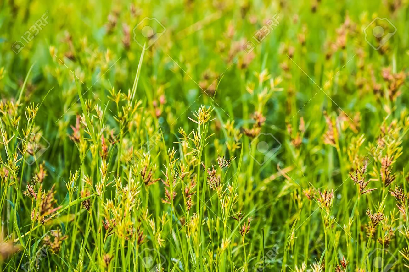 Cyperus rotundus flower - 79065098