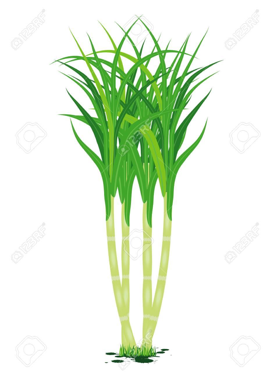 sugarcane plant vector design - 89989573