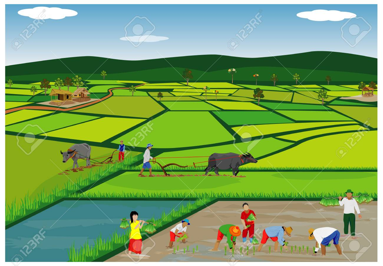 Illustration of farmers planting rice in paddy field. - 90864486