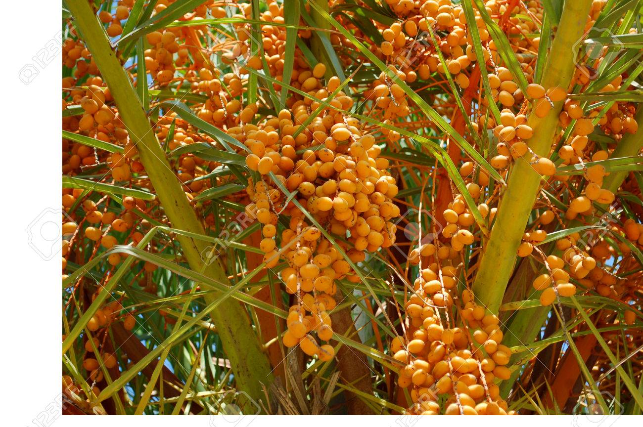 A Date Palm Tree With Unripe Yellow Fruit Clusters Stock Photo