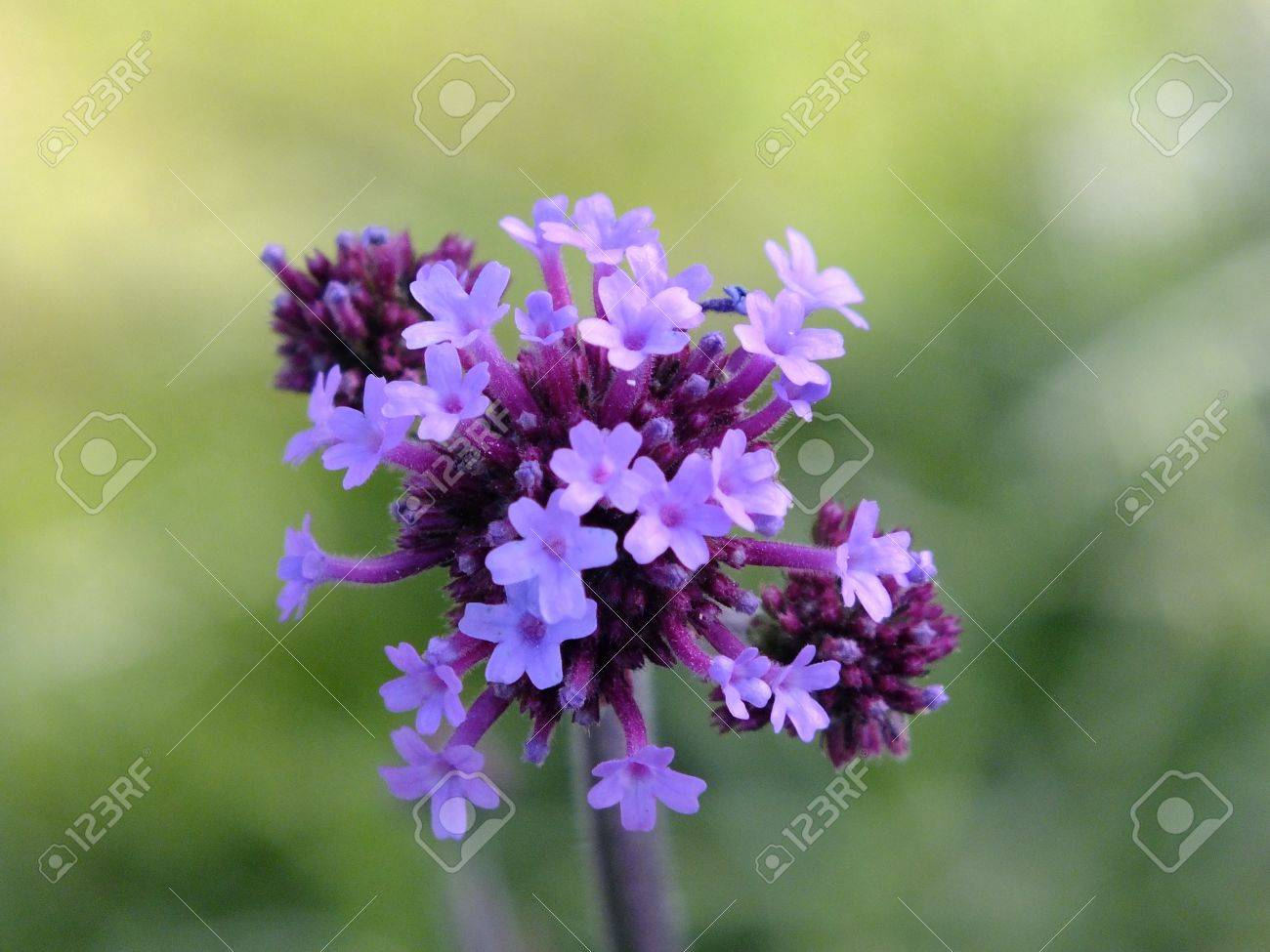 A Cluster Of Light And Dark Purple Flowers Stock Photo Picture And