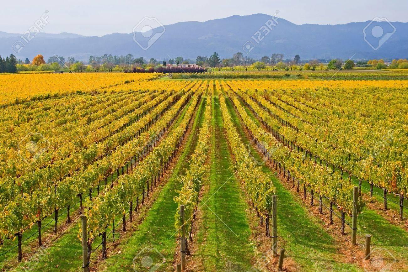 Vineyard in Napa Valley in Autumn Stock Photo - 9197884