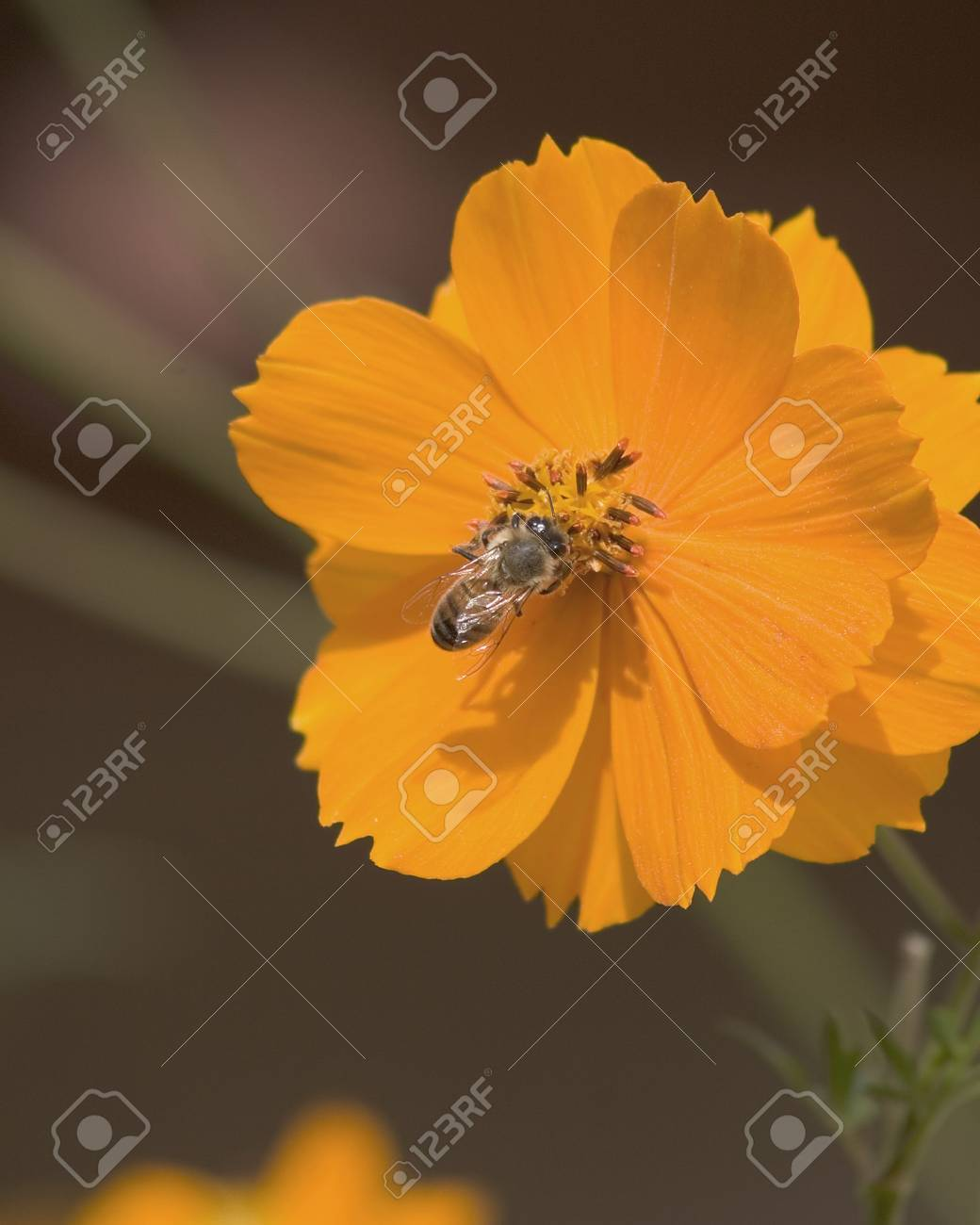 Honey bee gathering pollen from a cosmos flower. Stock Photo - 629734