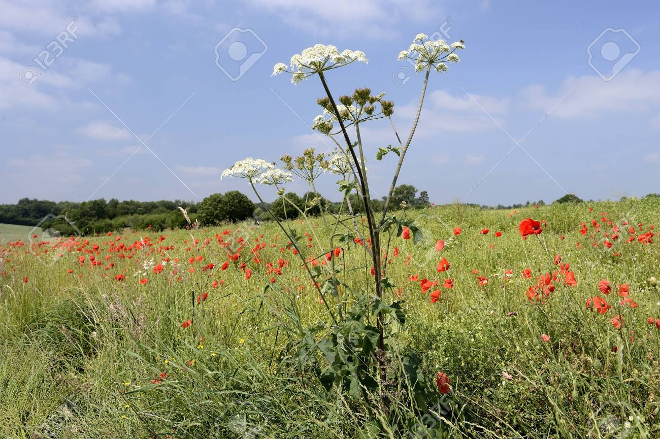 Normandy, France, July 2013. Rapeseed field overgrown by weed like cow parsnip and poppies - 145921711