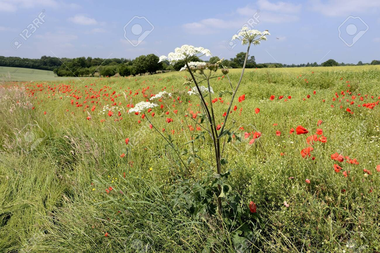Normandy, France, July 2013. Rapeseed field overgrown by weed like cow parsnip and poppies - 145921760
