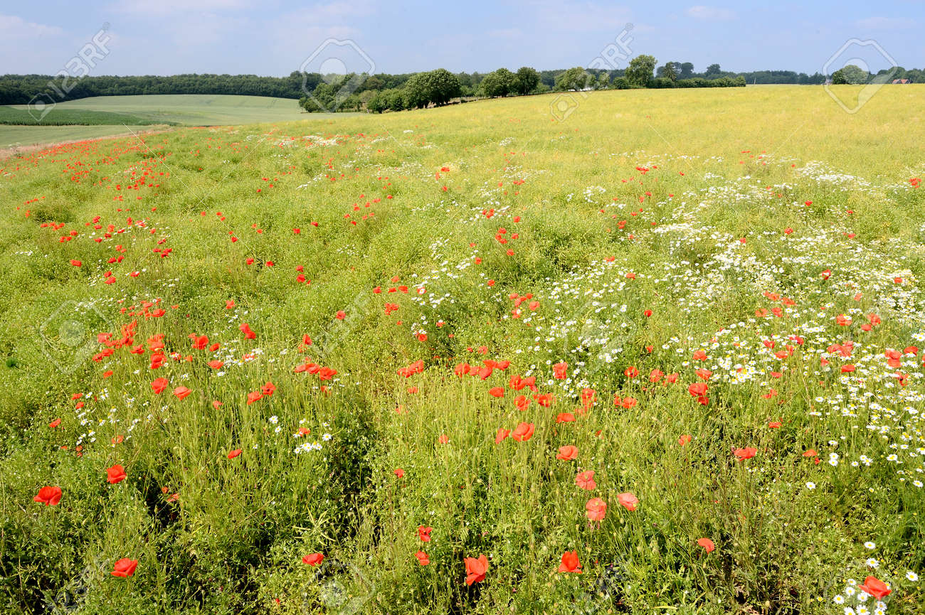 Normandy, France, July 2013. Rapeseed field overgrown by weed like poppies and chamomile - 145921847