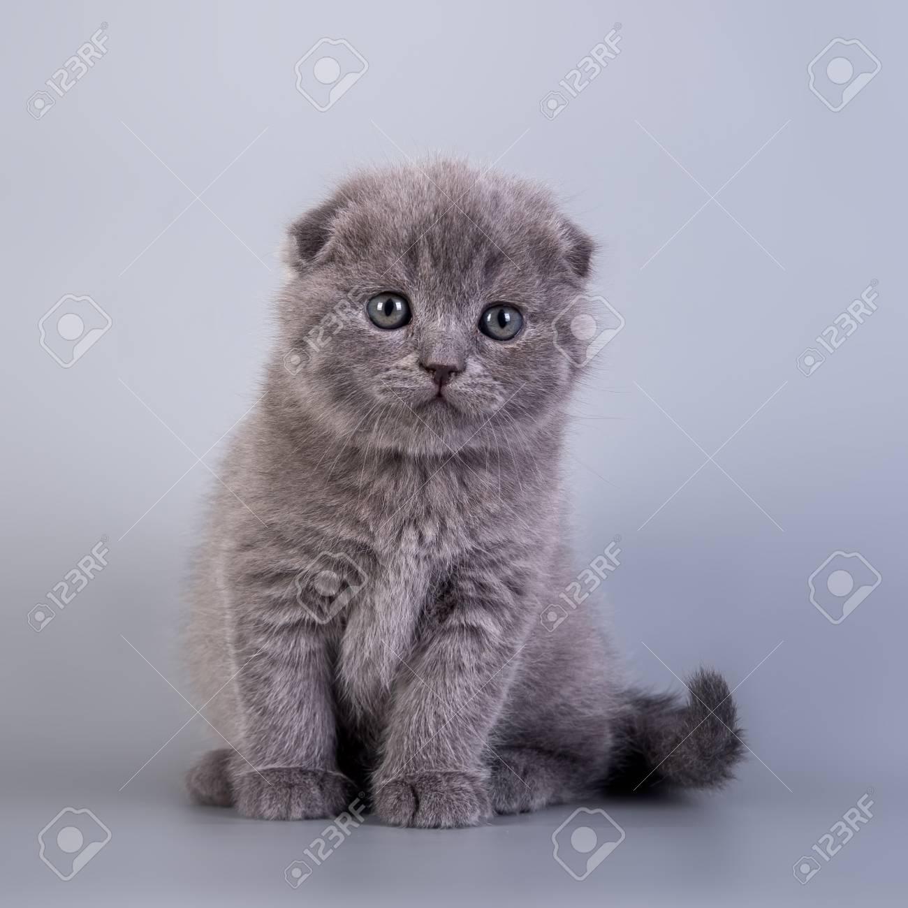 スコティッシュフォールド子猫ブルー色