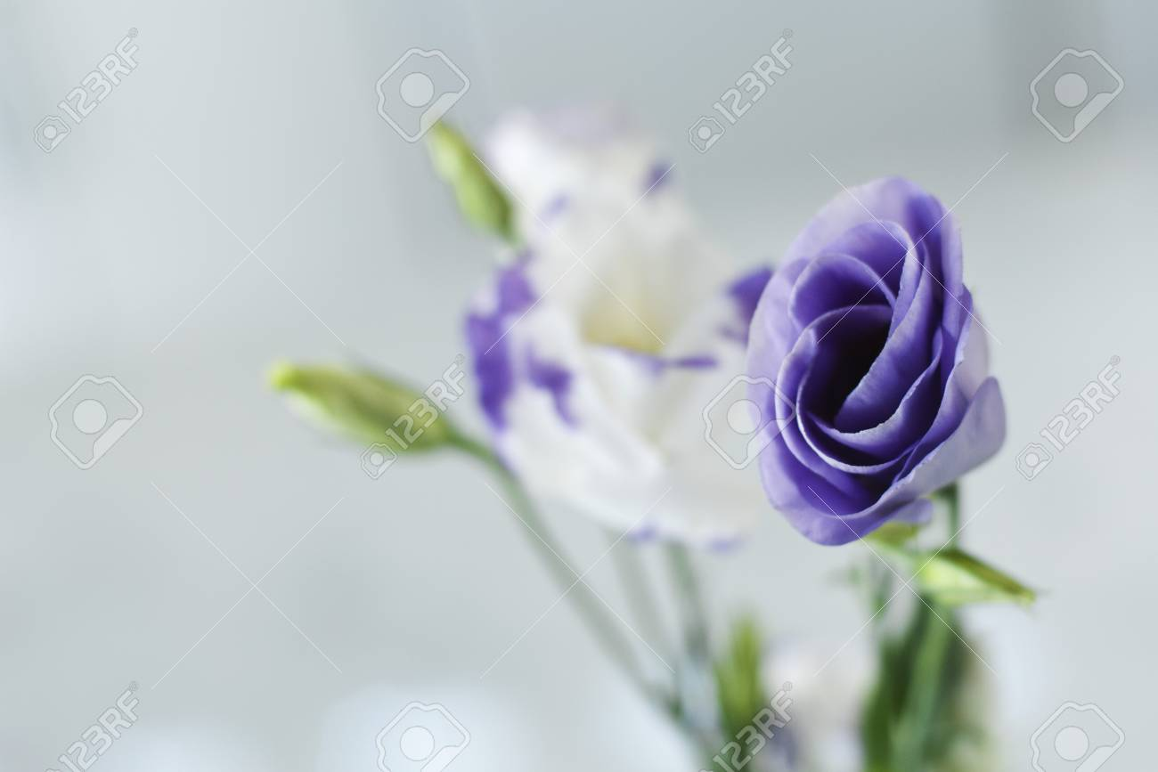 Purple and white lisianthus flower buds opening stock photo picture purple and white lisianthus flower buds opening stock photo 89654842 altavistaventures Choice Image