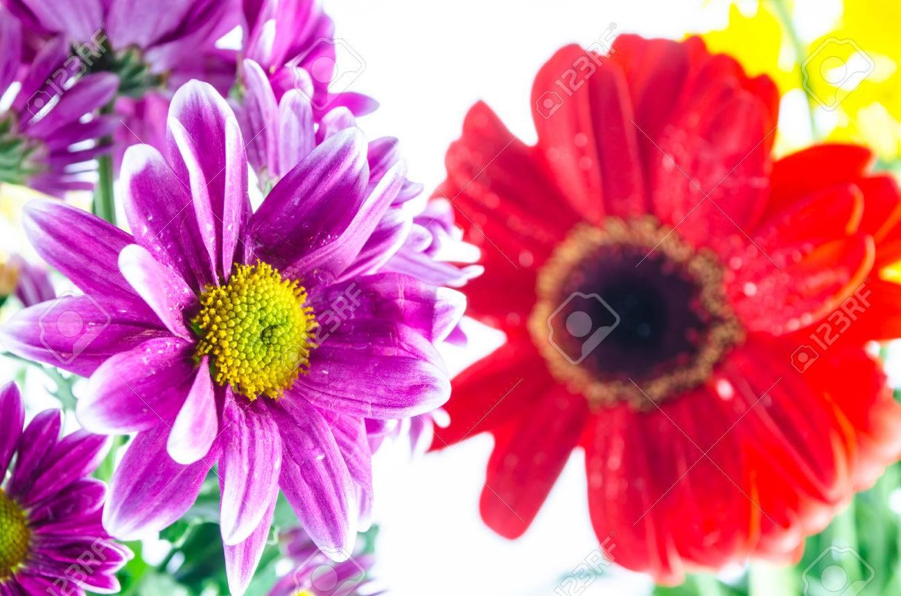 菊紫と黄色と赤のガーベラの花を壁紙します の写真素材 画像素材