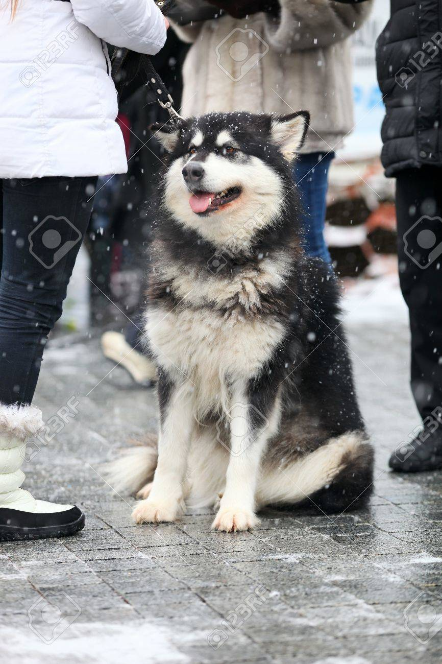 Alaskan Malamute on a winter day in the city Stock Photo - 17344894