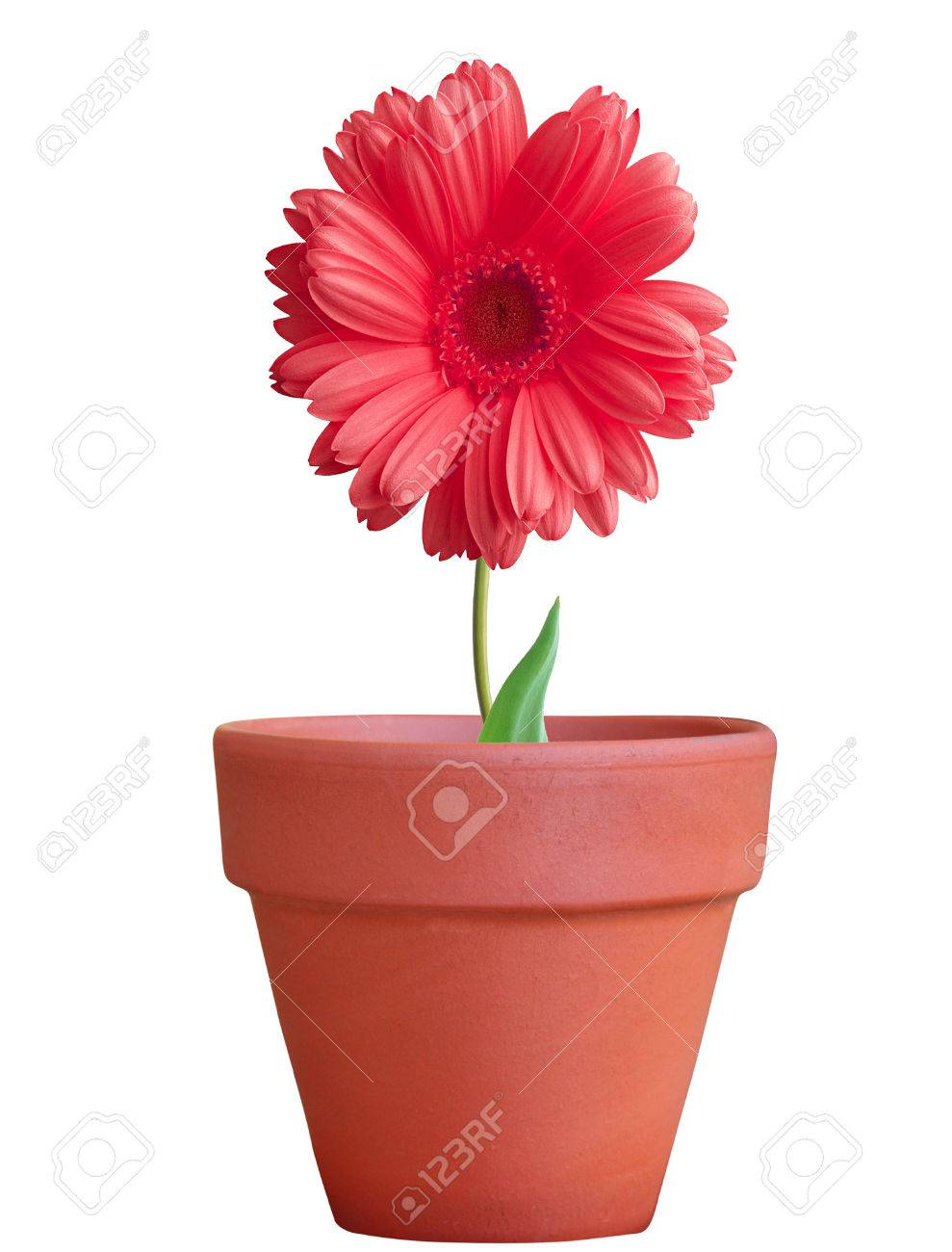 flower in pot isolated on white background - 52027698