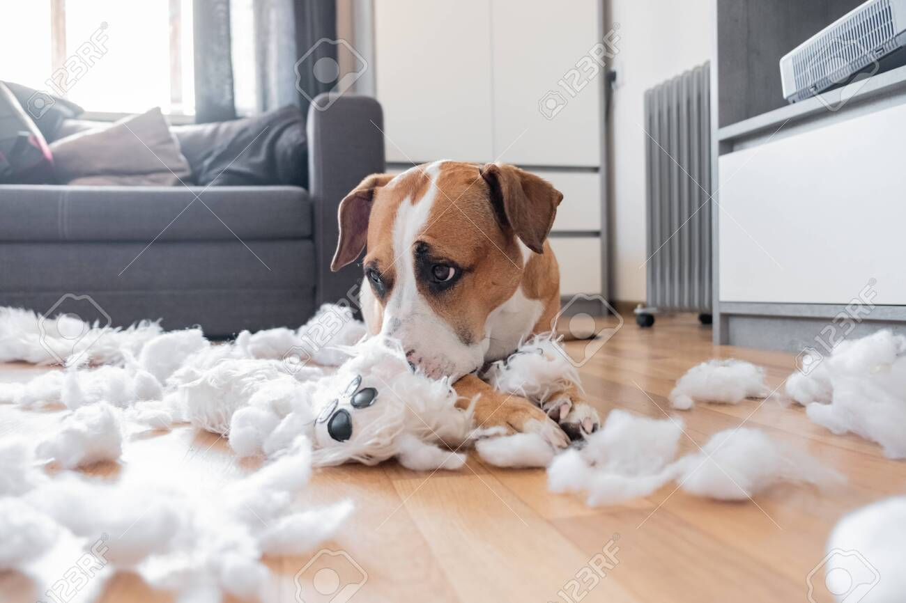 Guilty dog and a destroyed teddy bear at home. Staffordshire terrier lies among a torn fluffy toy, funny guilty look - 140022067