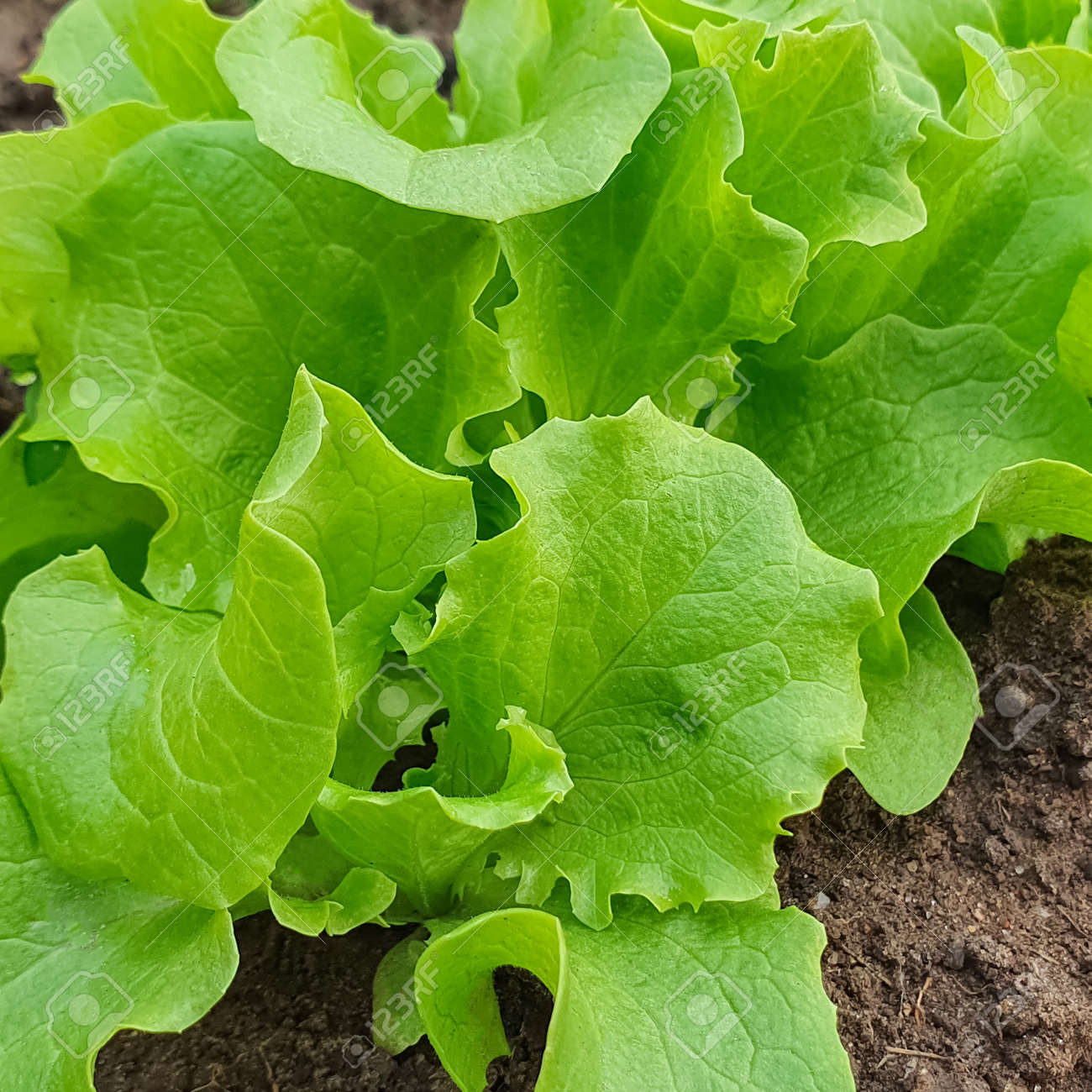 Concept of gardening eco friendly organic fresch lettuce leaves growing in the garden. Copy space, green background - 164076171