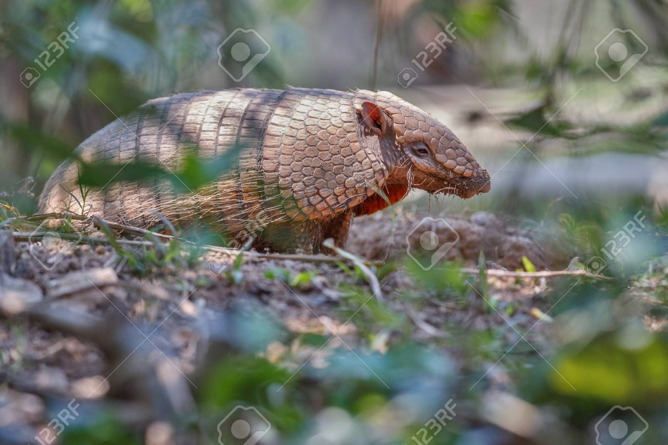 Armadillo in natural habitat of Brazilian forest