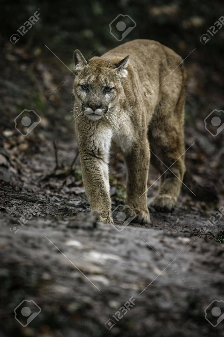 L'habitat Puma L'habitat Dans Dans Naturel Mâle Dans Mâle Puma Naturel Puma Mâle L'habitat 8n0mNw
