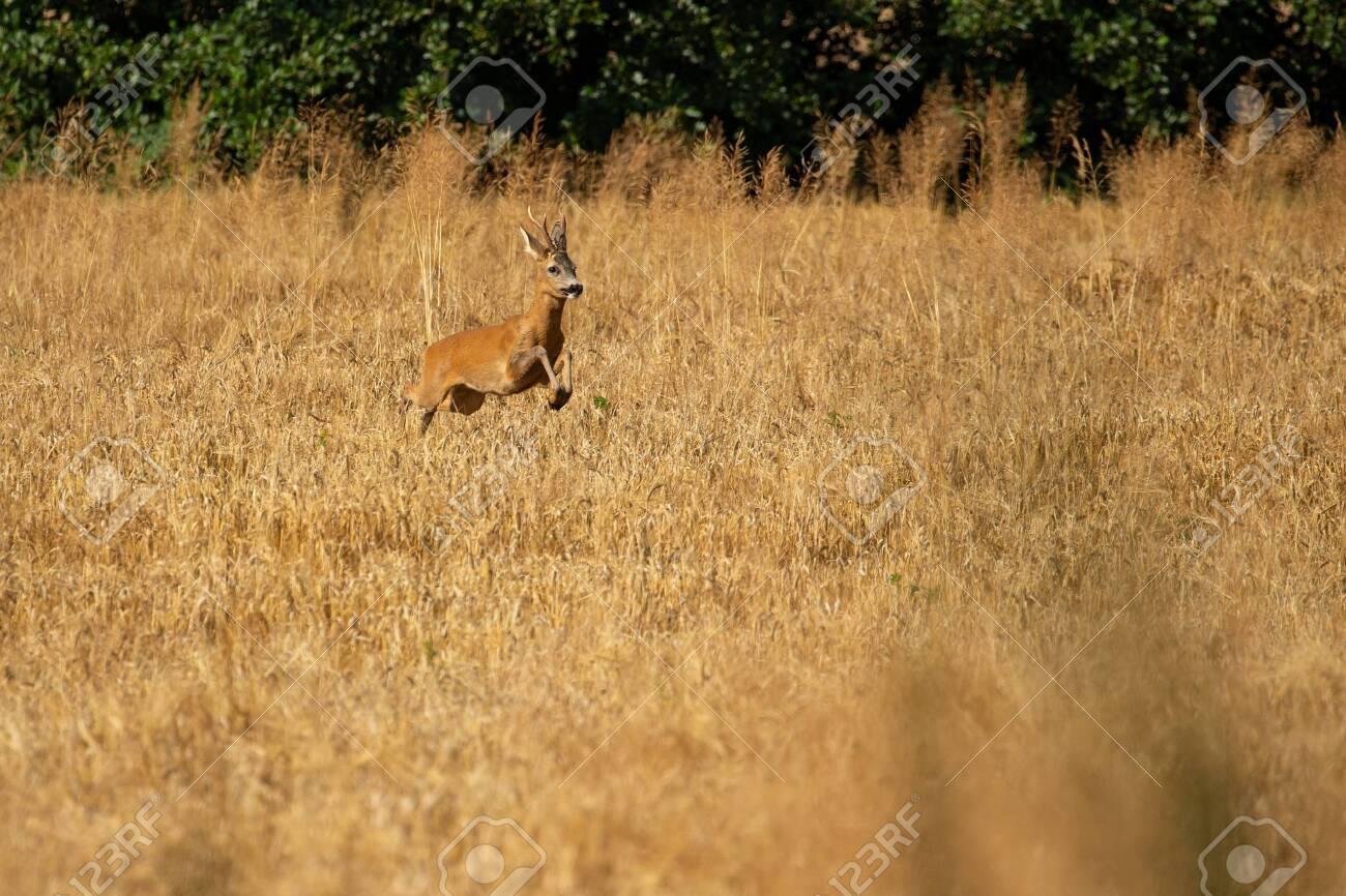 Roe deer in the magical nature. Beautiful european wildlife. Wild animal in the nature habitat. Roe deer rut. - 151508271