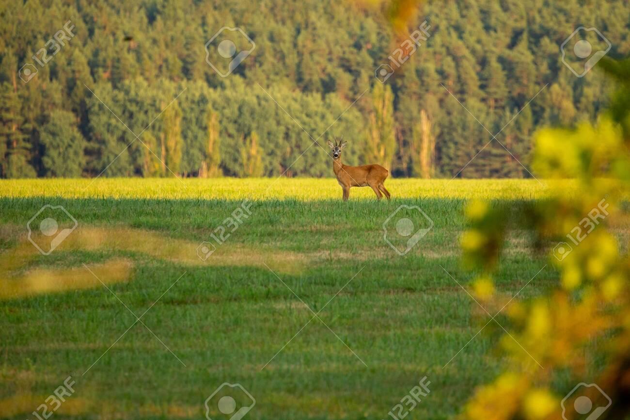Roe deer in the magical nature. Beautiful european wildlife. Wild animal in the nature habitat. Roe deer rut. - 151508274