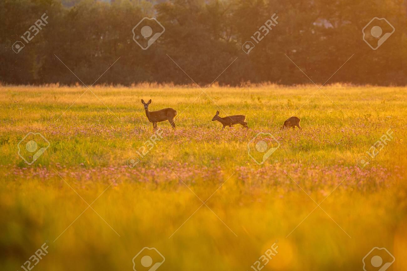 Roe deer in the magical nature. Beautiful european wildlife. Wild animal in the nature habitat. Roe deer rut. - 151508279