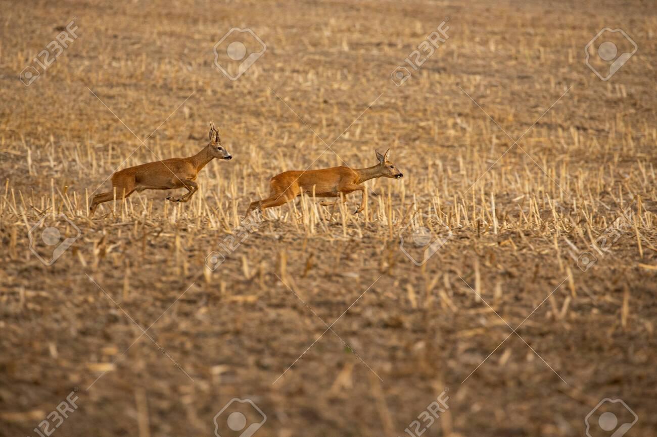 Roe deer in the magical nature. Beautiful european wildlife. Wild animal in the nature habitat. Roe deer rut. - 151508292