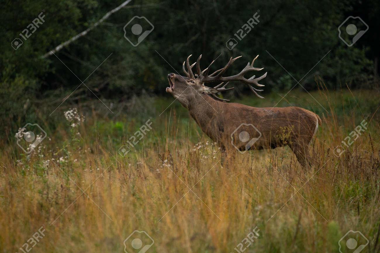 Red deer in the nature habitat during the deer rut - 153885407