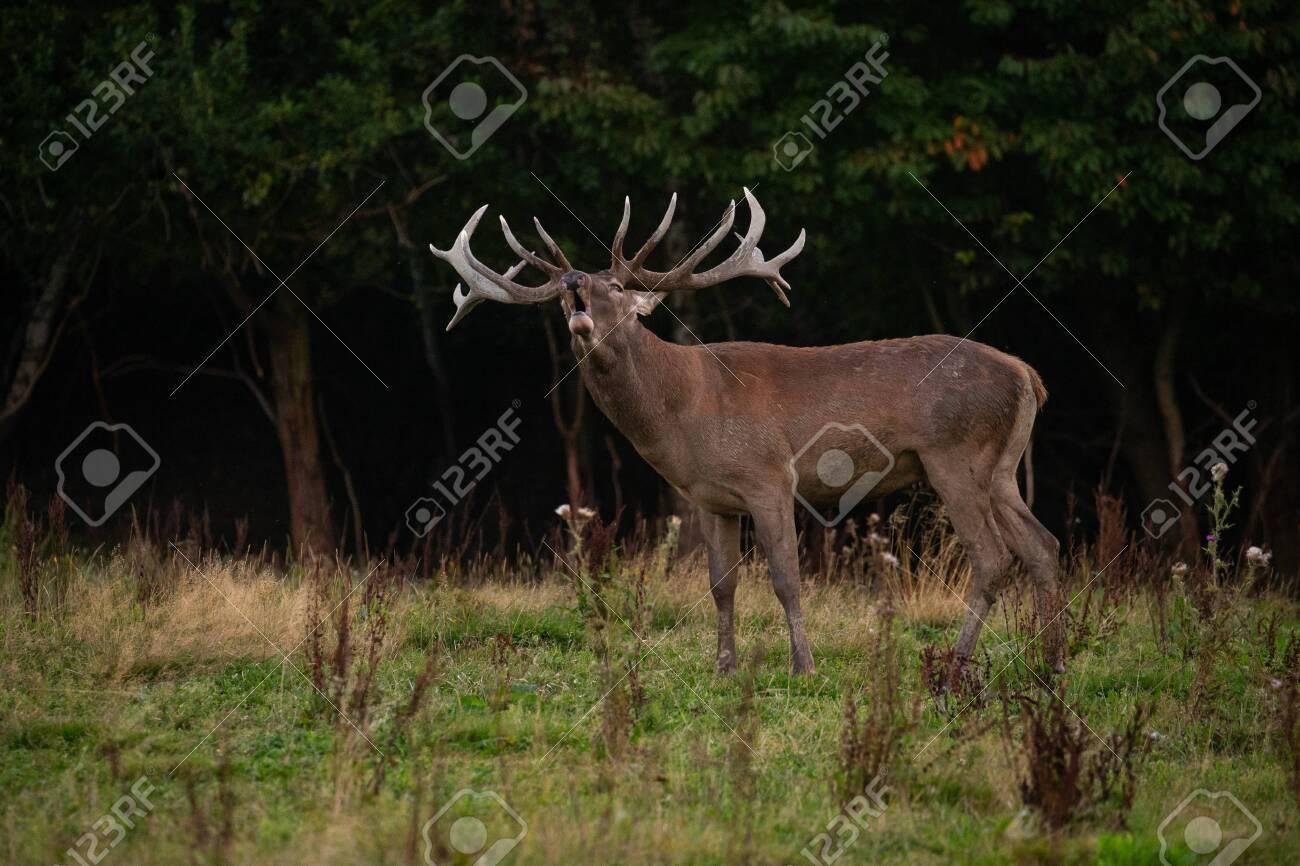 Red deer in the nature habitat during the deer rut - 153885416