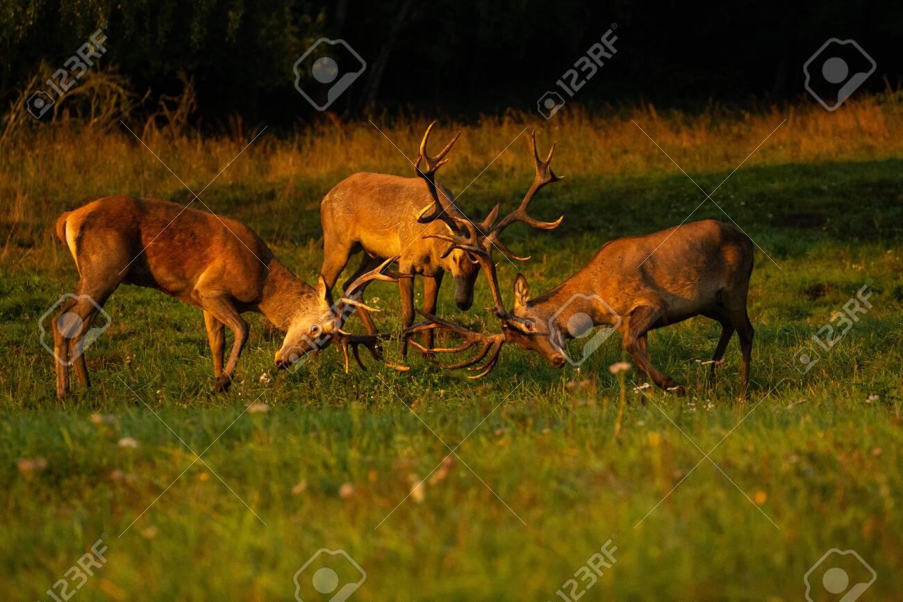 Red deer in the nature habitat during the deer rut - 153885426