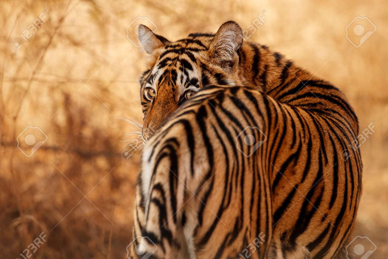 Beautiful tiger in the nature habitat. Tiger pose in amazing light. Wildlife scene with wild animal. Indian wildlife. Indian tiger. Panthera tigris tigris. - 154715448