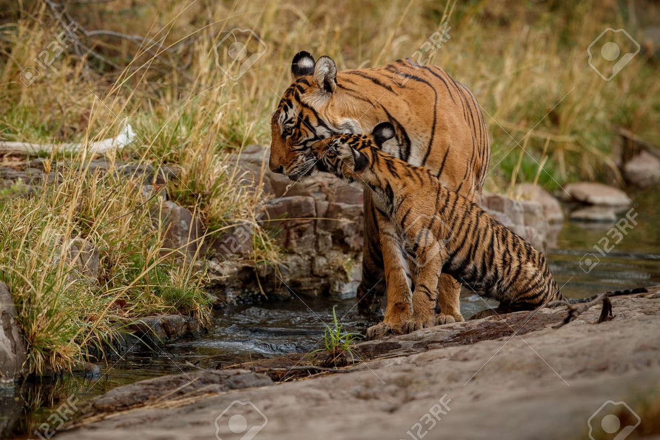 Beautiful tiger in the nature habitat. Tiger pose in amazing light. Wildlife scene with wild animal. Indian wildlife. Indian tiger. Panthera tigris tigris. - 154715445